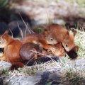 Oravanpoikaset