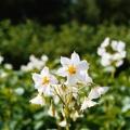 Perunan kukka